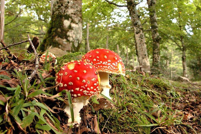Amanita muscaria - Madonie - home