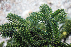 Abies nebrodensis detail