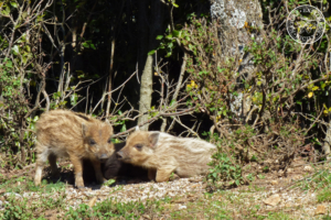 Baby boars in the Madonie