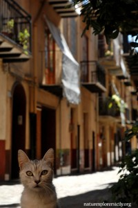Cat in a street of Castelbuono