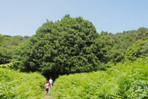 Giant holly trees