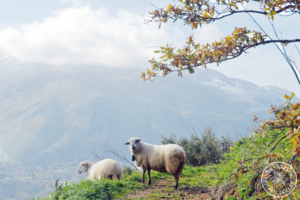 Sheep - country hike in Sicily