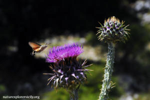 hummingbird hawk-moth on thistle